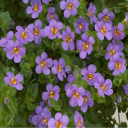 Бакопа мегакрупная (Blue) фиолетовый