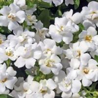 Бакопа махровая (Double White) белый