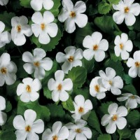 Бакопа мегакрупная (Bacopa White) белая