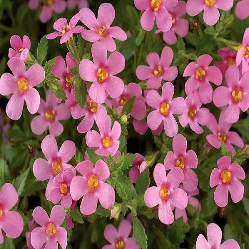 Бакопа мегакрупная (Rose) розовый