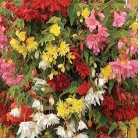 Бегония ампельная микс расцветок