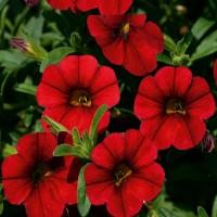 Кашпо с калибрахоа Алоха (Kona Dark Red ) красный