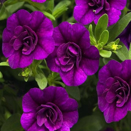 Кашпо с калибрахоа (Mini Famous Double Blue) махровый фиолетовый