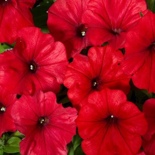 Кашпо с петунией (Сурфиния Hot Red) красный