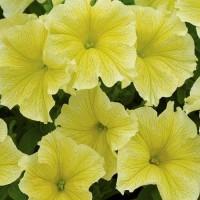 Кашпо с петунией (Surprice Yellow) желтый с прожилками