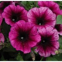 Петуния ампель (Sweetunia Purple Gem) малиновый с прожилками