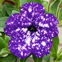Кашпо с петунией (Night Sky) фиолетовый с белыми брызгами