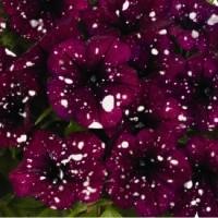 Кашпо с петунией (Sparkling Burgundy) бургунди с белыми брызгами