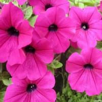 Кашпо с петунией Neon Rose ярко-розовый