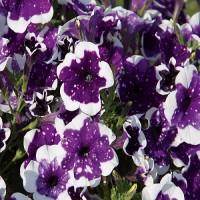 Кашпо с петунией (Glasier Sky) фиолетовый с белыми брызгами