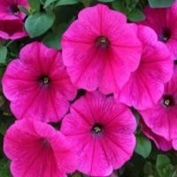 Кашпо с петунией (Surprise Hot Pink) розовый с прожилками