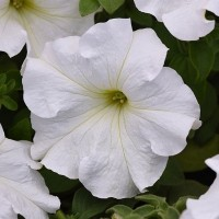 Кашпо с петунией (Surprise White) белый