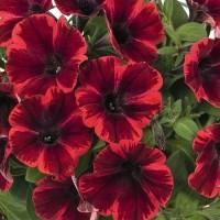 Кашпо с петунией (Sweetunia Fiona Flash) красно-черная звезда