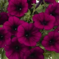 Кашпо с петунией (Purple) малиновый с прожилками