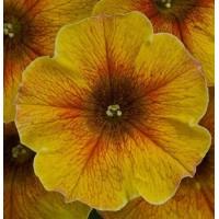 Кашпо с петунией (Caramel Gold) желтый с прожилками