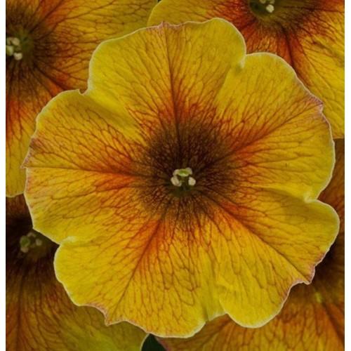 Петуния ампель (Caramel Gold) желтый с прожилками