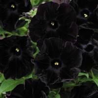 Кашпо с петунией (Black Satin) черный