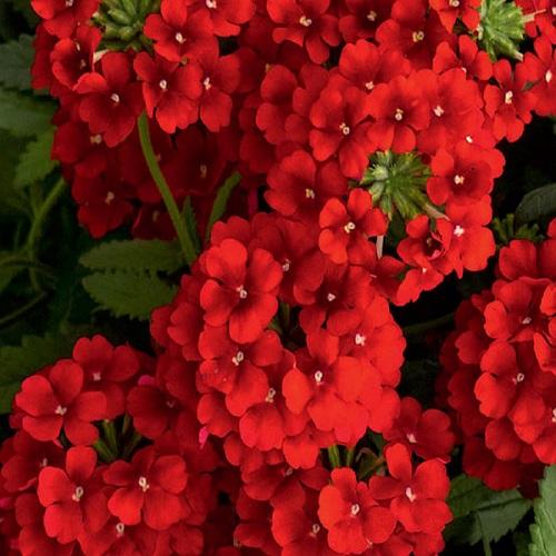 Кашпо с ампельной вербеной (Sun Red) красный