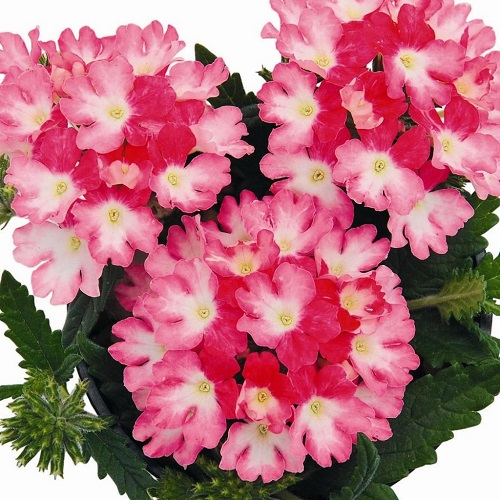 Кашпо с ампельной вербеной (White Rose) розово-белый