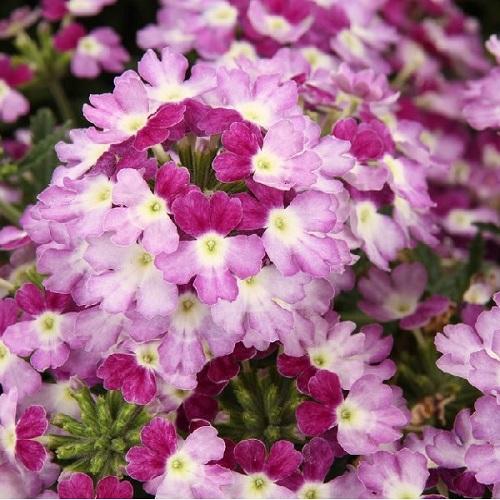Кашпо с ампельной вербеной (White Purple) малиново-белый