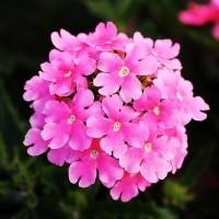 Вербена крупноцветковая (Sun Pink) светло-розовый