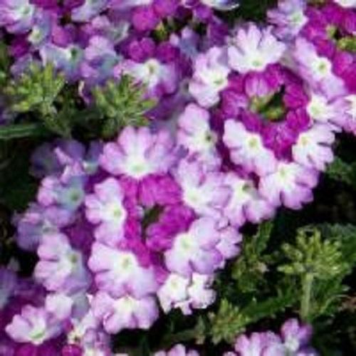 Кашпо с ампельной вербеной (White Blue) фиолетово-белый