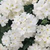 Вербена крупноцветковая (White) белый