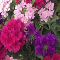Кашпо с вербеной ампельной микс расцветок
