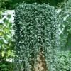 Подвесные кашпо с декоративно-лиственными растениями
