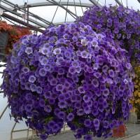 Кашпо с калибрахоа ампельной в ассортименте расцветок