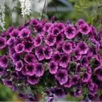 Кашпо с петунией ампельной в ассортименте расцветок