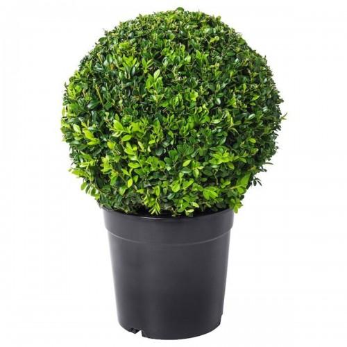 Самшит круглый шар (Buxus sempervirens 25CM BALL C4)