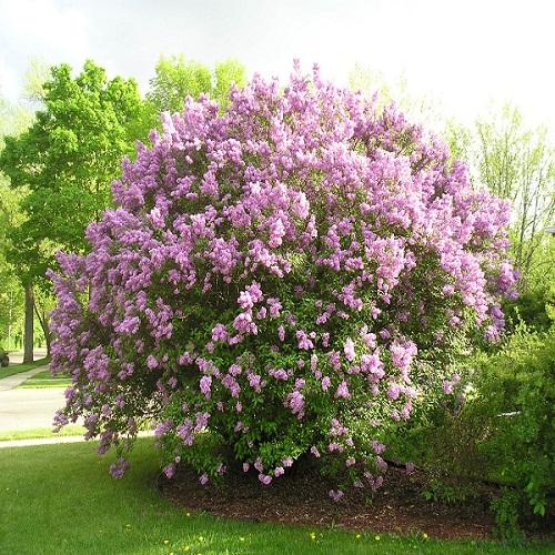 Сирень Венгерская розовый