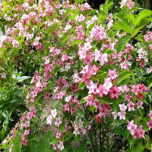 Вейгела Розея розовый