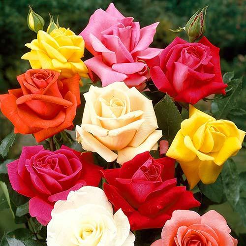 Роза чайно-гибридная в ассортименте