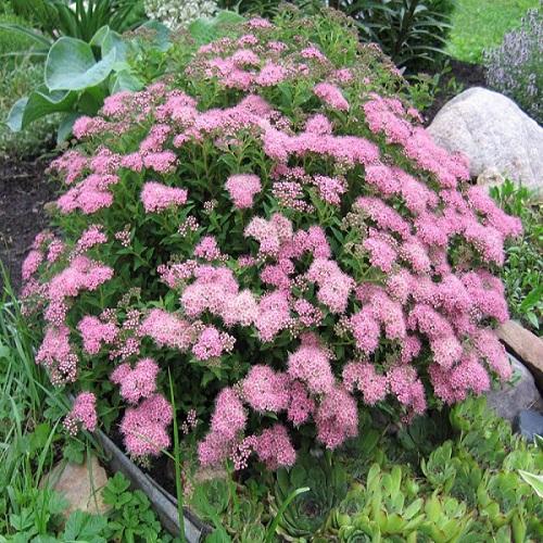 Спирея Японская розовый