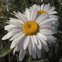 Нивяник крупноцветковый белый (Ромашка)