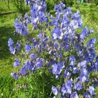 Полемониум голубой
