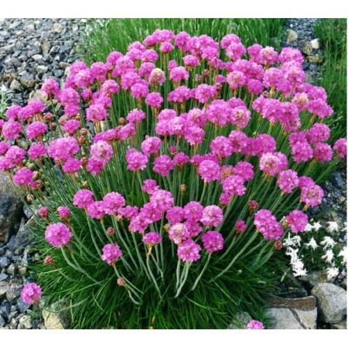 Армерия Приморская розовый