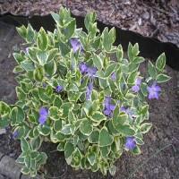 Барвинок пестролистный почвопокровник синий