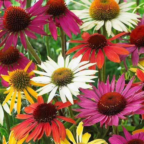 Эхинацея крупноцветковая смесь окрасок