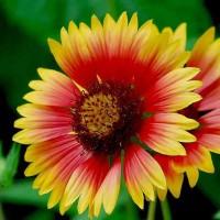Гайлардия крупноцветковая красно-желтый