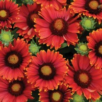 Гайлардия крупноцветковая красный