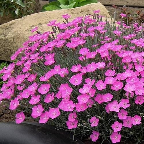 Гвоздика Павлинья почвопокровник розовый