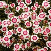 Гвоздика Травянка почвопокровник бело-розовый