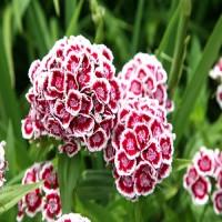 Гвоздика многолетняя Турецкая Княгиня бело-розовый