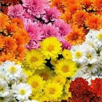 Хризантема Корейская смесь окрасок