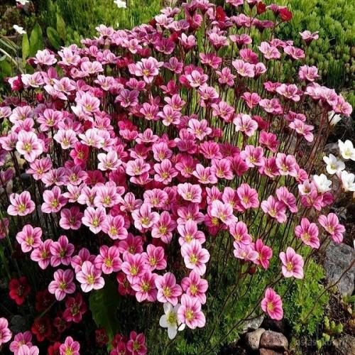 Камнеломка Арендса Флорал Карпет почвопокровник бело-розовый
