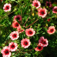 Лапчатка травянистая розовый
