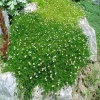Мшанка - Ирландский мох почвопокровник